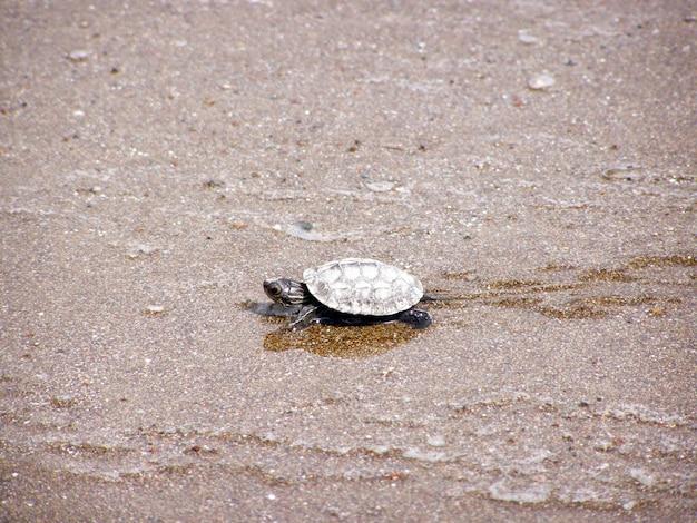 Żółw morski zielony spacer do oceanu
