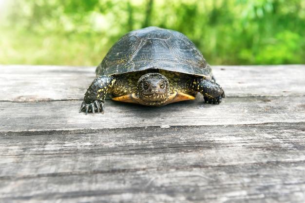 Żółw na drewnianym biurku ze słoneczną trawą na tle