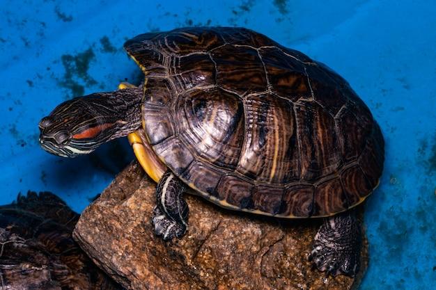 Żółw na kamieniu na niebieskim tle. zbliżenie.