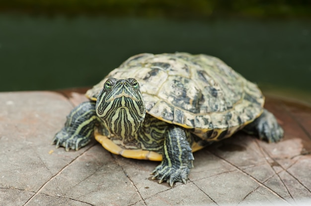 Żółw na kamieniu w faunie środowiska naturalnego