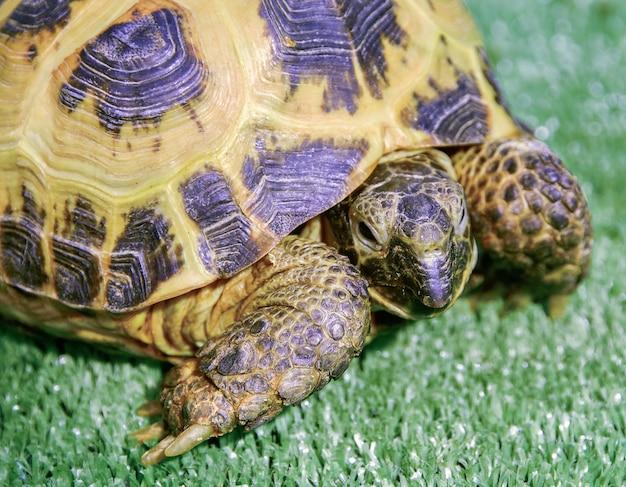 Żółw na trawie