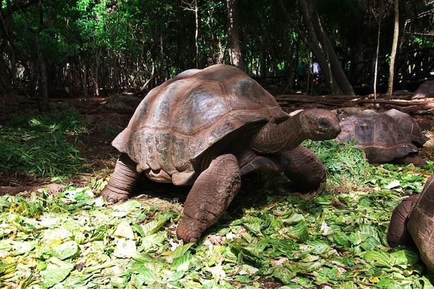 Żółw na więziennej wyspie zanzibar, tanzania