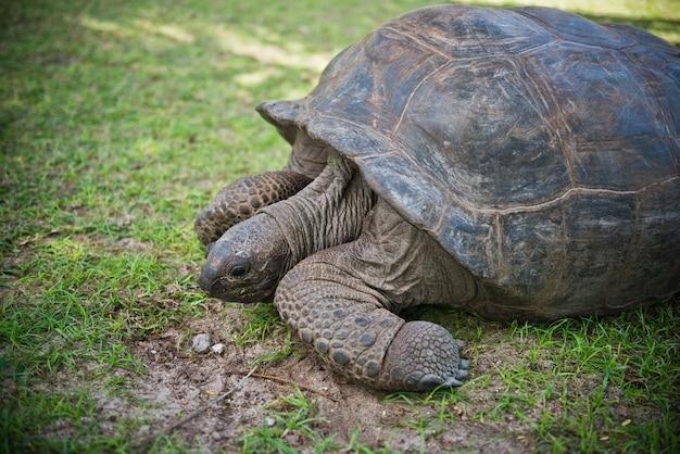 Żółw olbrzymi na seszelach bliska strzał