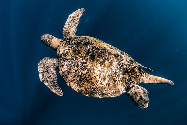 Żółw pływać w niebieskim morzu