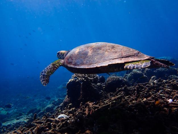 Żółw pływanie pod wodą.