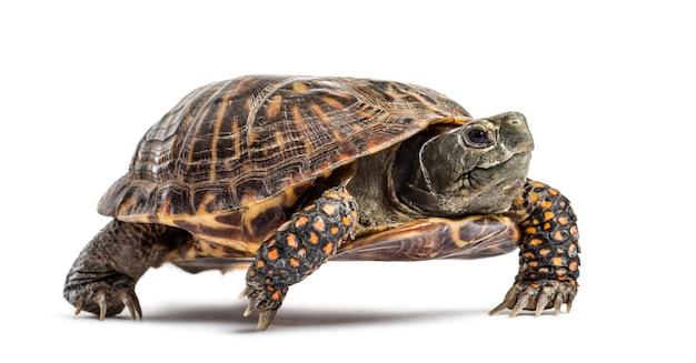 Żółw pudełkowy, na białym tle