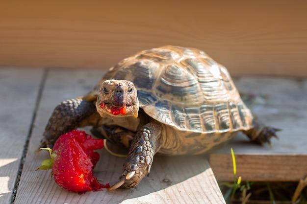 Żółw rosyjski jedzący truskawki w niewoli