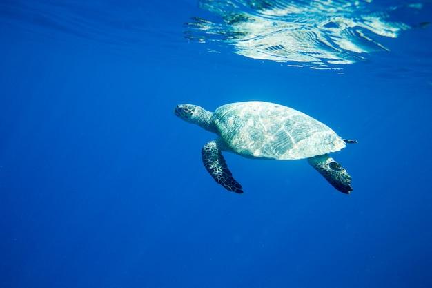 Żółw siedzący przy koralowcach pod powierzchnią wody