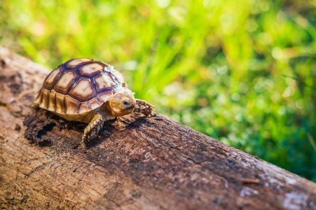 Żółw sukata chodzi po zwalonym drzewie.