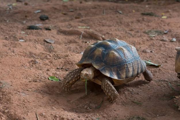 Żółw sulcata, żółw afrykański (geochelone sulcata) jest jednym z największych gatunków żółwi na świecie.