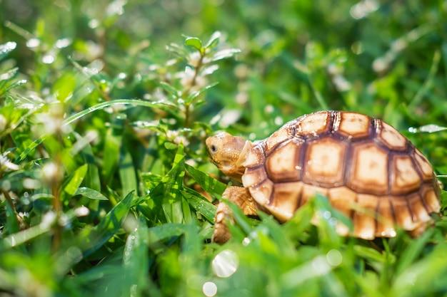 Żółw suzuka idzie po trawie.