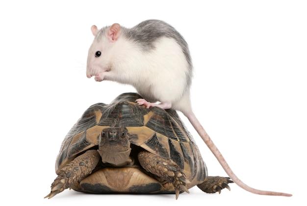 Żółw szczura i hermanna testudo hermanni przed białym tłem