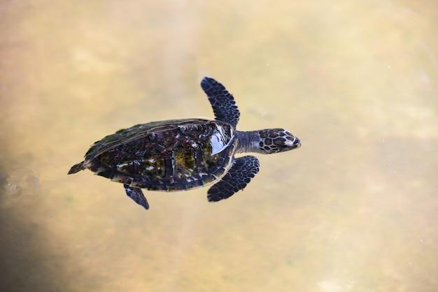 Żółw szylkretowy małe dziecko żółw morski pływanie na stawie wodnym w gospodarstwie