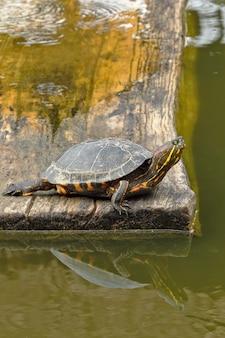 Żółw tchórzliwy (trachemys scripta elegans)