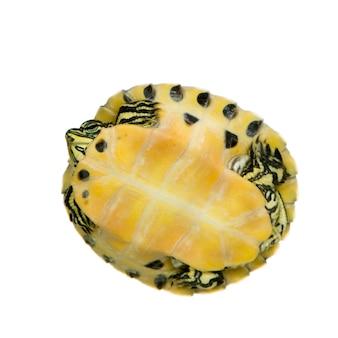 Żółw - trachemys na białym tle