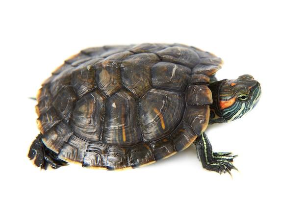 Żółw ucho czerwony na białym tle