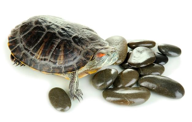 Żółw Ucho Czerwony Na Białym Tle Premium Zdjęcia