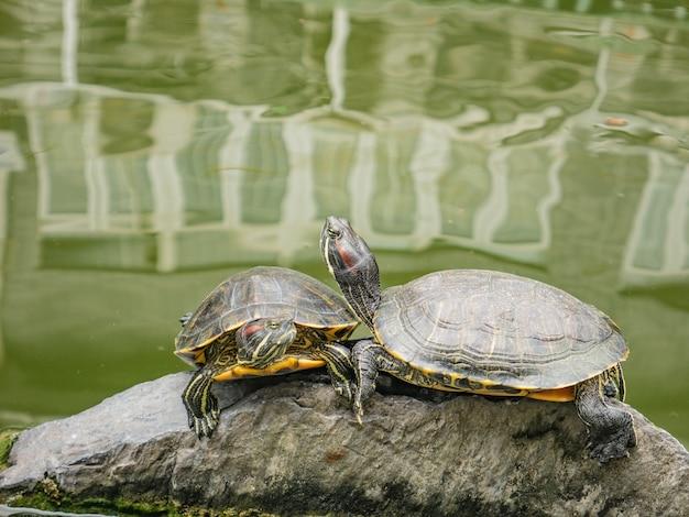 Żółw w stawie wodnym z załamaniem drzewa i budynkiem na wodzie na ulicy hualin w chinach guangzhou