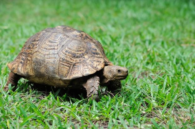 Żółw w trawie