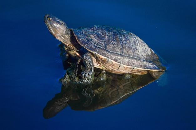 Żółw wodny w stawie na dominikanie