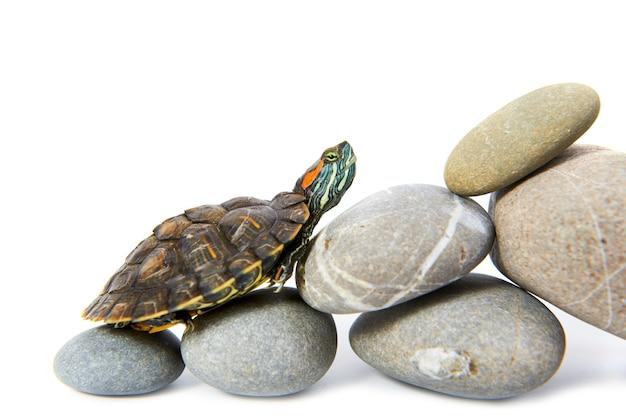 Żółw wspinający się po schodach. koncepcja na białym tle