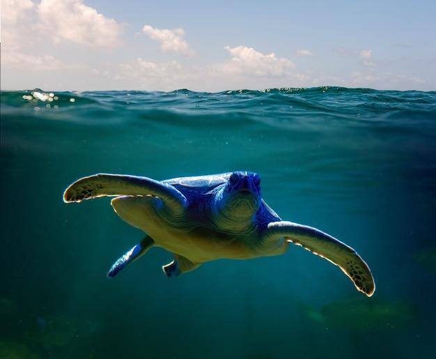 Żółw zielony pływanie w morzu