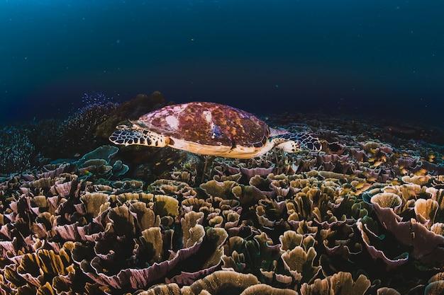 Żółw zielony sea pływanie na karaibach