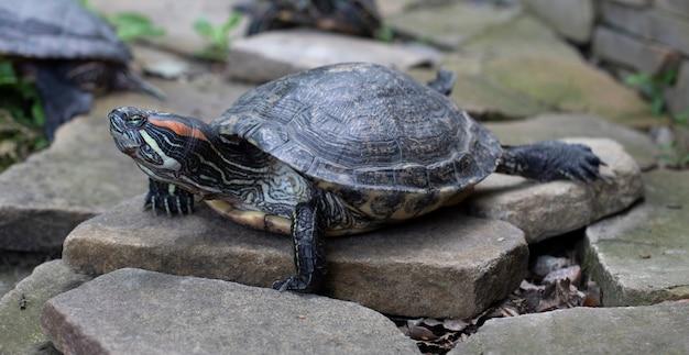 Żółw. żółw opalający się na lądzie. żółwie karapaksowe