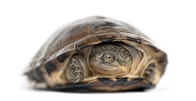 Żółw zwyczajny, na białym tle
