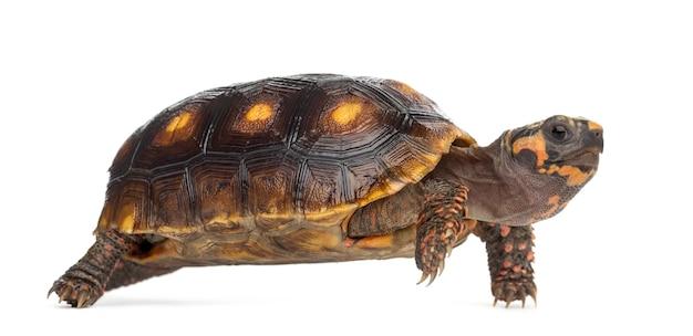 Żółwie czerwononogie (1,5 roku życia), chelonoidis carbonaria, przed białą powierzchnią