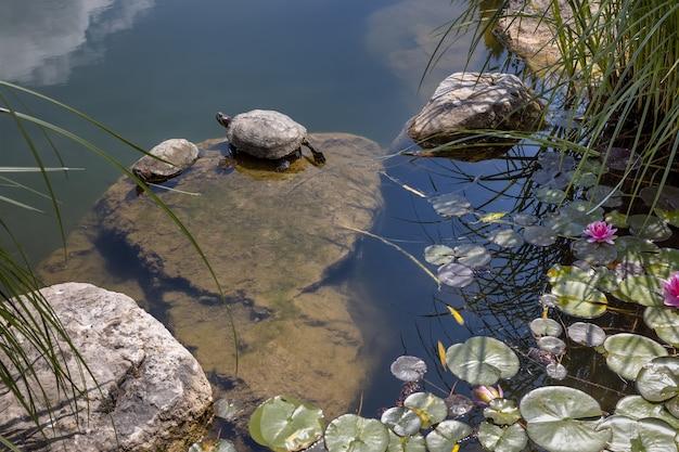 Żółwie siedzą w stawie z liliami wodnymi w aivazovsky park paradise partenit crimea