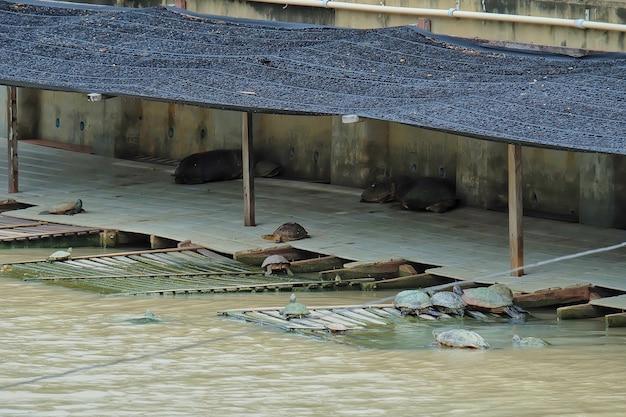 Żółwie słodkowodne pływają w rzece i opalają się na drewnie stworzonym przez człowieka.