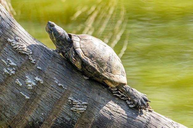 Żółwie w słońcu nad jeziorem.