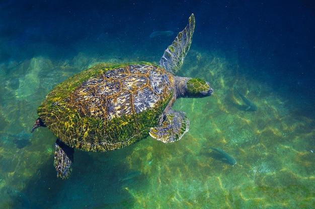Żółwie w wodzie na morzu czerwonym