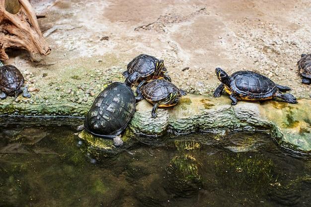 Żółwie wychodzą z wody na brzeg