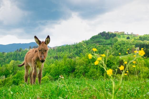 Źrebię osła na łąkach w bergamo przed alpami we włoszech