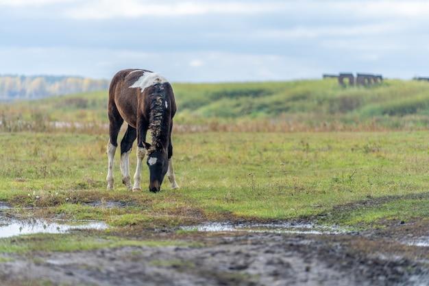 Źrebię pasie się na łące. ogier na tle jeziora zjada trawę. źrebię umaszczenia brązowego z białymi plamkami