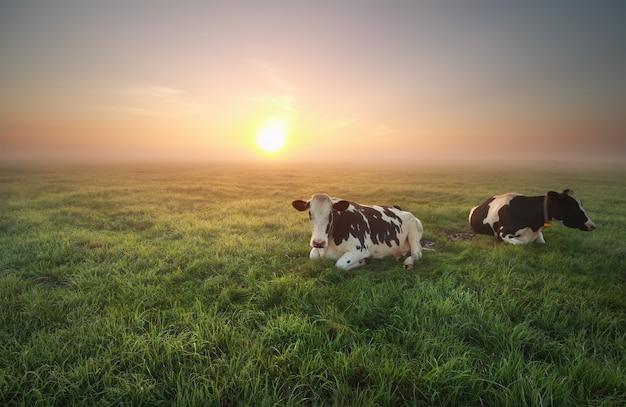 Zrelaksowane krowy na pastwisku o wschodzie słońca