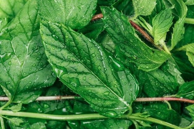 Zroszone i chłodne zielone liście z bliska. poziomy.