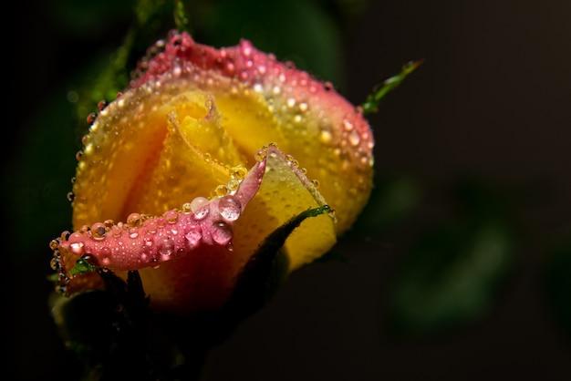 Zroszone pąki róży na klombie, selektywna ostrość.