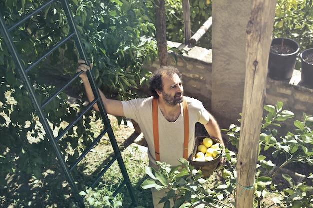 Zrywanie cytryny w słoneczny dzień