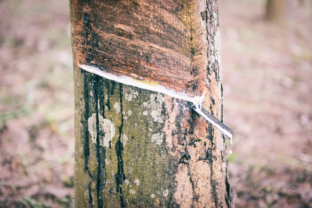 Zrzucanie lateksu kauczukowego pozyskiwane z azjatyckiego rolnictwa na plantacjach kauczuku naturalnego lateksu
