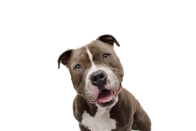 Zszokowany i zdziwiony wyraz twarzy psa. bully amerykański na białym tle na białej powierzchni