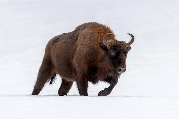 Żubr bison bonasus zimą w naturalnym środowisku