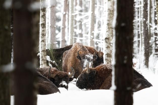 Żubr w pięknym białym lesie zimą bison bonasus