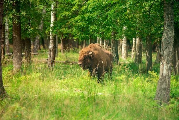 Żubr w rosyjskim parku narodowym. latem żubr