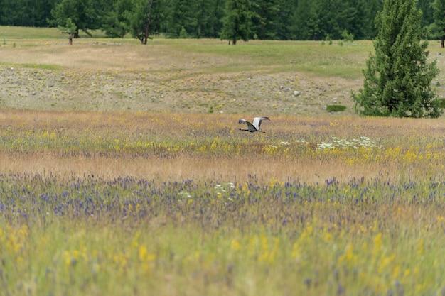 Żuraw, chodzi po stepie ze swoimi pisklętami
