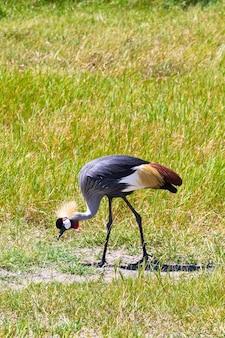 Żuraw crone jedzenie na brzegu. tanzania, afryka