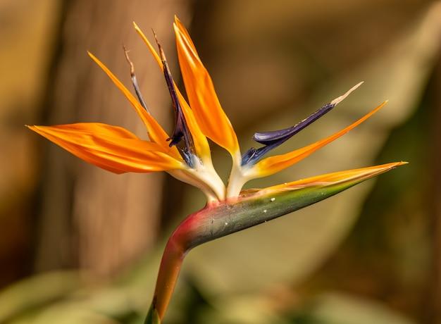 Żuraw kwiat lub rajski ptak (strelitzia reginae) kwiat szczegółowo