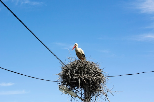 Żuraw ptasi na gnieździe, motyw dzikich zwierząt, błękitne niebo i światło dzienne